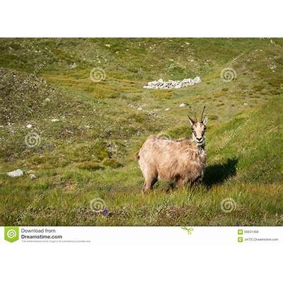 Wild Chamois On The Mountain Meadow Stock Photo - Image