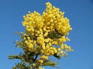 Mimosa Résistant Au Froid : acacia dealbata mimosa d 39 hiver mimosa des fleuristes mimosa argent p pini re en ligne de ~ Melissatoandfro.com Idées de Décoration