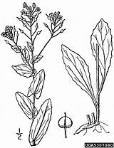 Mustard Plant Coloring Seed Lepidium Template Pages Hoary Cress Sketch Templates sketch template
