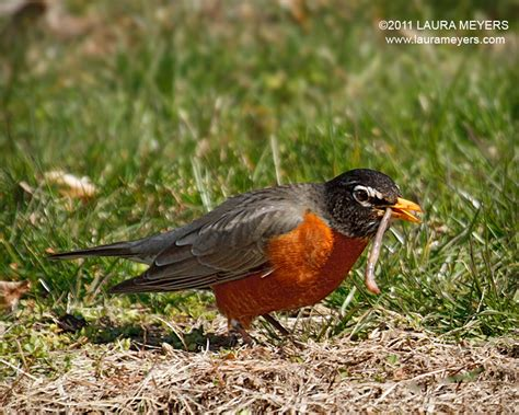 american robin with worm laura meyers photography