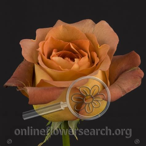 Description, photos, references, ratings, reviews, gardens growing and nurseries selling the 'coffee break' rose. Rose Coffee Break - Online Flower Search