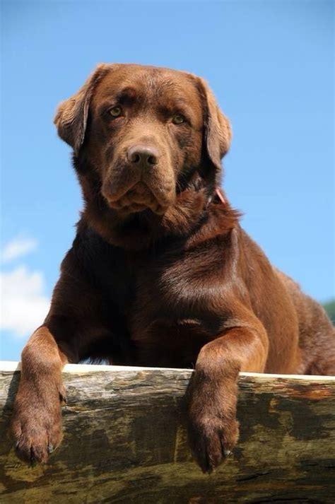 Labrador Retriever Chocolate Lab