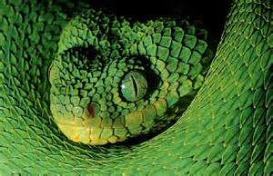 African Bush Viper Snake