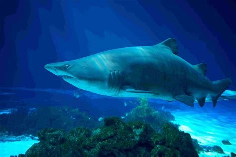 Tiger Shark Teeth Facts