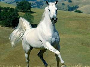 Wallpapers Download: White Horse Wallpaper