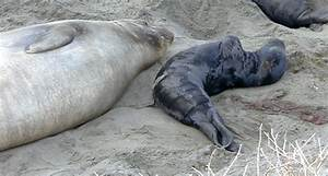 Elephant Seals: Reproduction