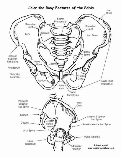 Coloring Skeletal Pelvis System Pages Features Bony