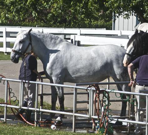 horse norman spanish wikipedia horses stallion mare origin history