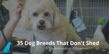 35 dog breeds that don t shed small medium large