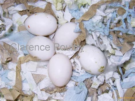 how are bird eggs fertilized fertilized exotic bird eggs products cyprus fertilized exotic bird eggs supplier