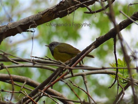 warblers midwest bird watching