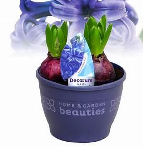 Kuebelpflanzen Winterhart Bluehend : hyazinthus orientalis hayzinthe blau pflanzen versand ~ Whattoseeinmadrid.com Haus und Dekorationen