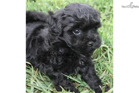 video meet black male  cute poma poo pomapoo puppy