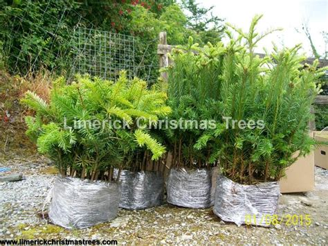 noble fir transplants cell grown plants