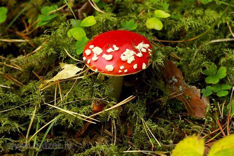 Sarkanā mušmire - Sarkanā mušmire (Amanita muscaria) - redzet.eu