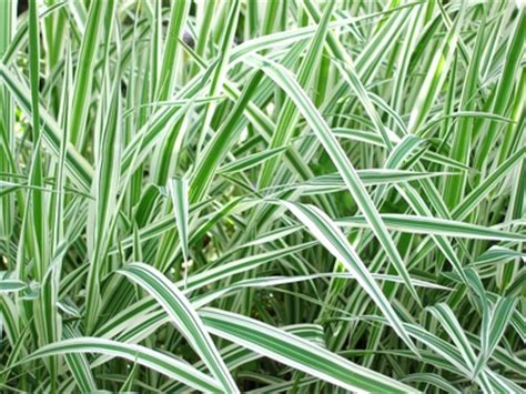 transplanting ornamental grass the best time of year to split and transplant ornamental grass ehow