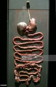 View Of Plastinated Digestive Tract At The  U0026quot Body Worlds