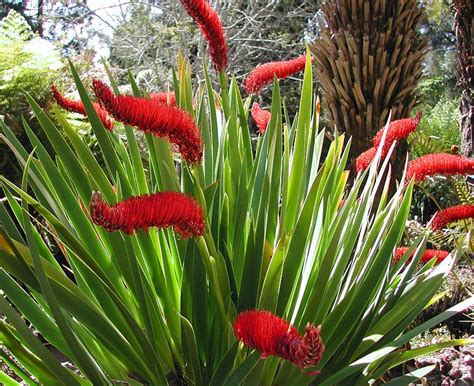 unique lilies extremely rare unusual xeronema quot poor knights lily quot fresh seeds ebay
