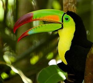 Related Keywords & Suggestions for Toucans Appearance