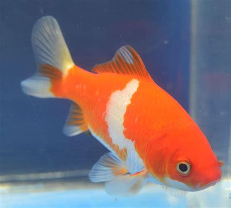 Garden Goldfish by Hibuna Goldfish Common Goldfish From Garden
