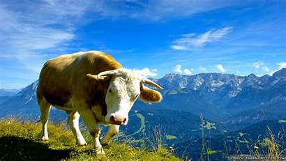 Cow Wallpapers Mountain Summer Crazy Scenes Animals