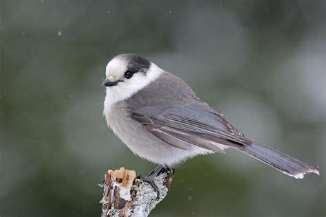 canada jay audubon field guide