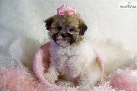 meet fi fi  cute pekepoo puppy  sale   fi fi