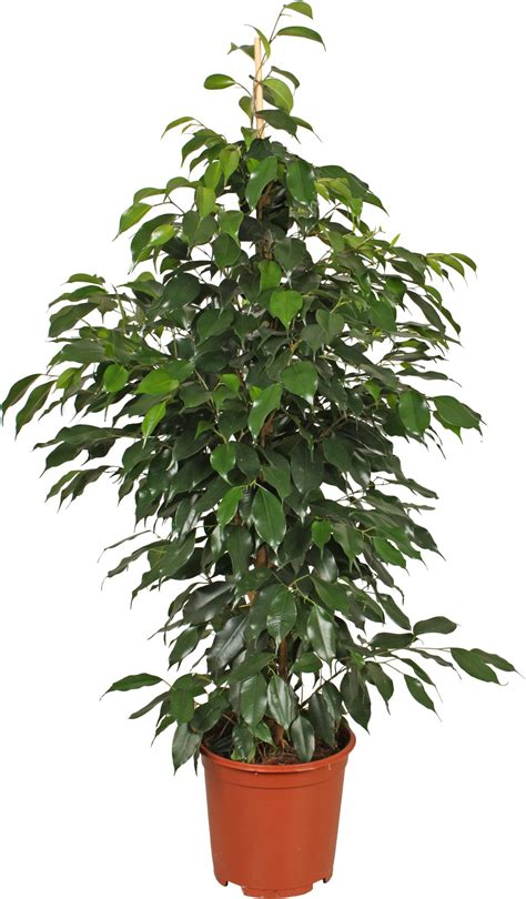 Piantine Da Interno Ficus Benjamina Pianta Da Iterno