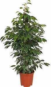 Ficus Benjamini Vermehren : ficus benjamina pianta da iterno ~ Lizthompson.info Haus und Dekorationen
