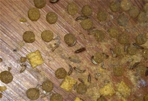 carpet beetle larvae infestation whats  bug