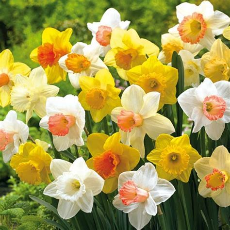 best sellers mixed trumpet daffodils for naturalizing