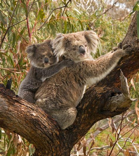 Australasian wildlife Travel guide at Wikivoyage