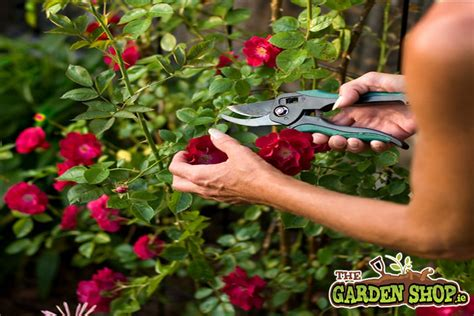when to prune roses pruning roses howtogarden ie