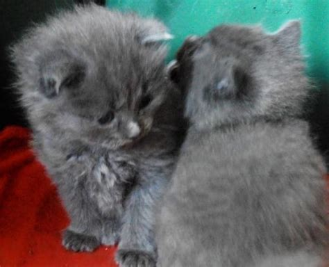 grey bengal kittens  sale  animals
