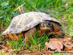 types of turtles t u r t l e s