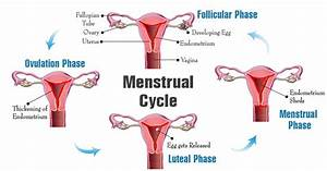 What Are The Menstrual Cycle Phases And How Can I Chart
