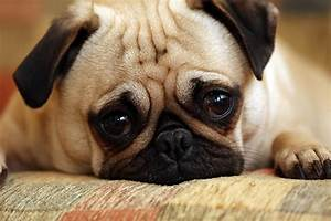 Sad Pug Puppy | Our youngest pug Mack can look so sad when ...