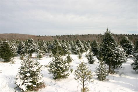 piper mountain christmas tree farm for sale file newburgh me piper mountain tree farm1 jpg wikimedia commons