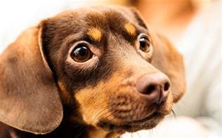 chihuahua dachshund mix breed a guide to the chiweenie