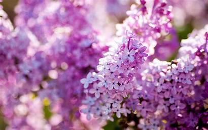 Lilac Wallpapers Flowers