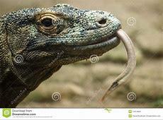 Komodo Dragon Close Up Stock Photo Image 13414850