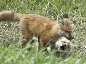 Baby Red Foxes Part 2 – Tales from Echo Canyon