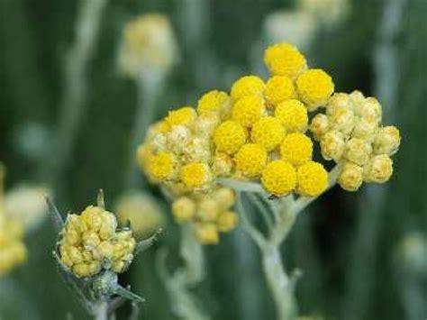 quizz cuisine l 39 immortelle ou hélichryse une fleur méditerranéenne