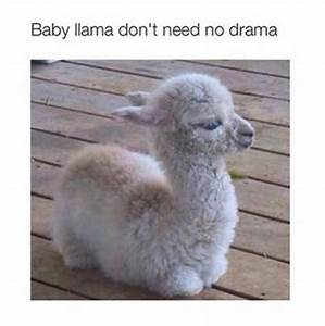 30+ Pictures of Llamas with Caption that Very Cute,Funny ...