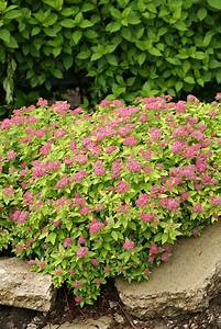 Double Play U00ae Gold - Spirea