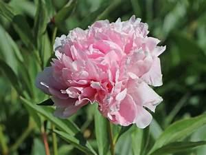 Pfingstrose Sarah Bernhardt : pfingstrose 39 sarah bernhardt 39 paeonia lactiflora 39 sarah bernhardt 39 baumschule horstmann ~ A.2002-acura-tl-radio.info Haus und Dekorationen