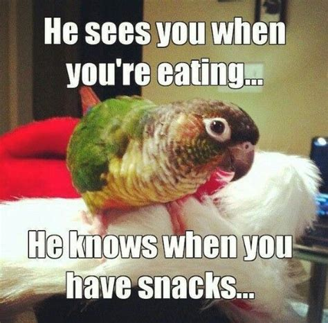 Cockatiel Memes - 116 best bird memes and quotes images on pinterest pet birds parakeets and parrots