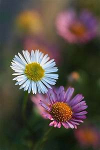 Picture, Of, Small, Daisy, Flowers, Jpg, Hi