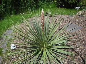 Yucca Palme Garten : yucca palmen yucca palme bottle 19 cm yucca palme 180cm ~ Lizthompson.info Haus und Dekorationen