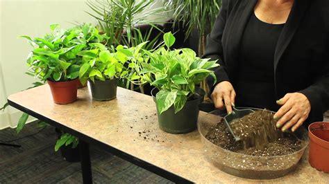 plant pothos gardening plant care youtube